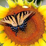پس زمینه پروانه